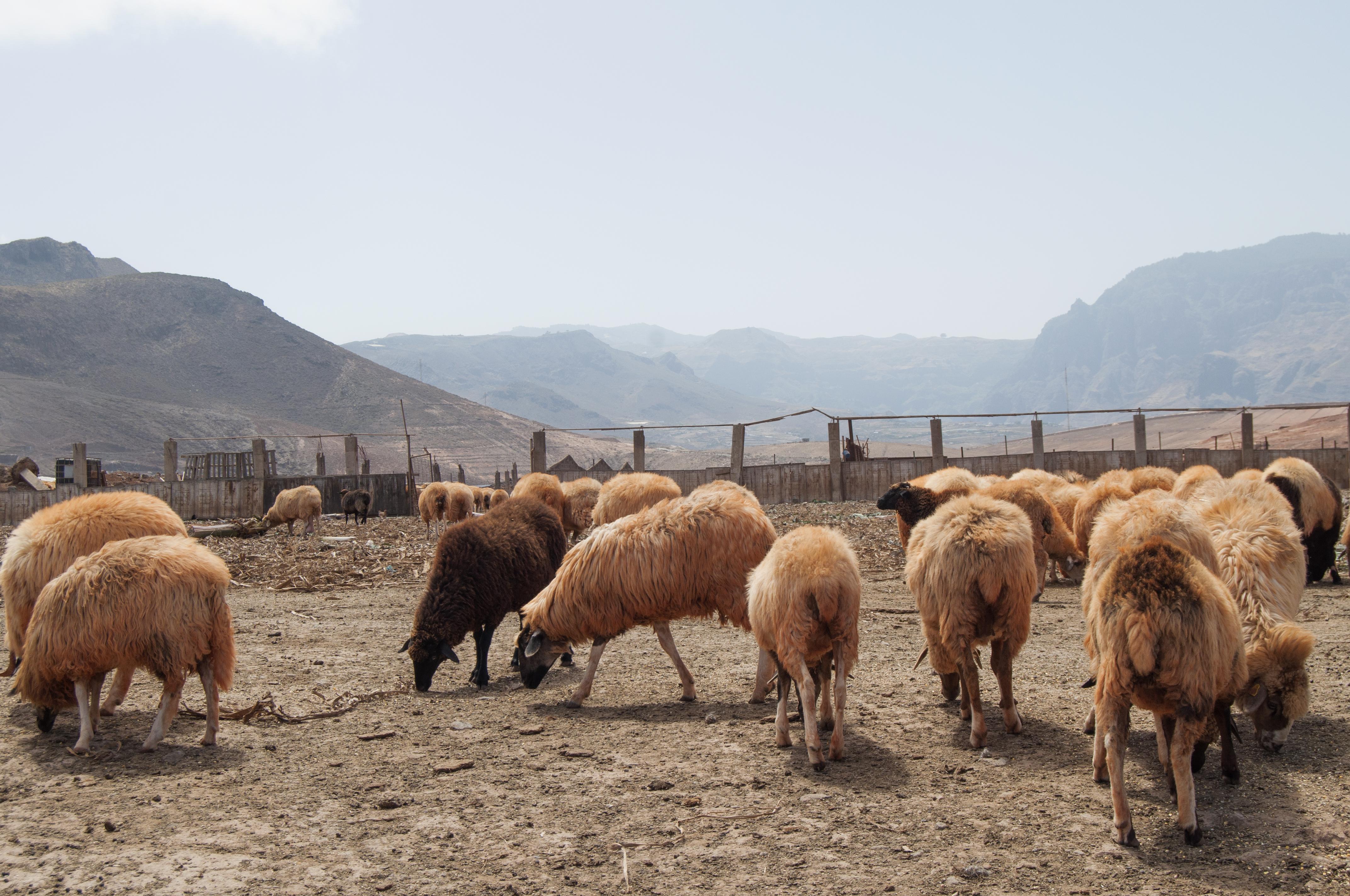 El ciclo del ganado, entre neblinas, amapolas y ríñales.