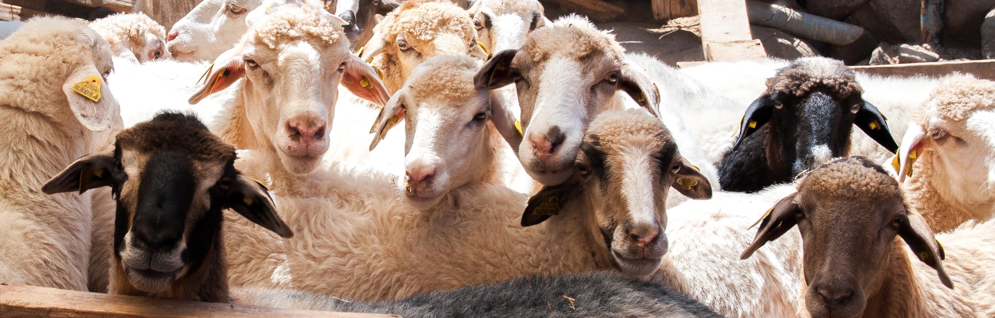 El Gobierno de Canarias aprueba el Programa de Cría de la Oveja Canaria