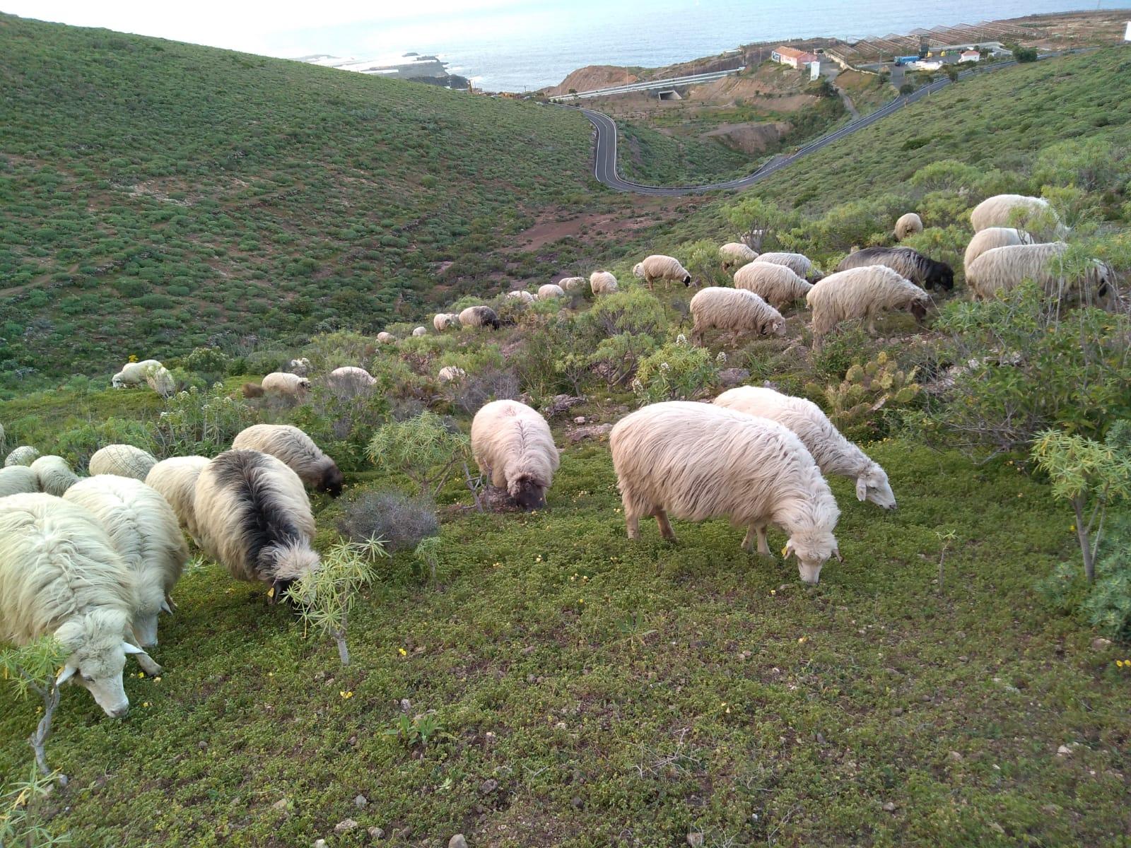La Oveja Canaria es patrimonio cultural, genético y etnológico
